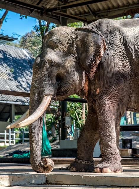 Elefant Thailand 908     