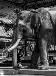 Elefant Thailand s/w 907 |  |