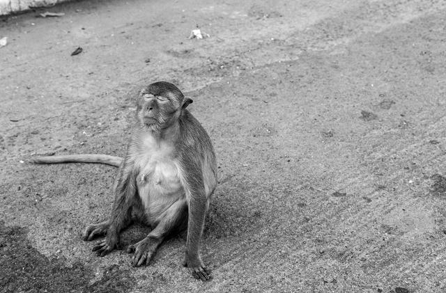 Entspannter Affe Thailand s/w 910     