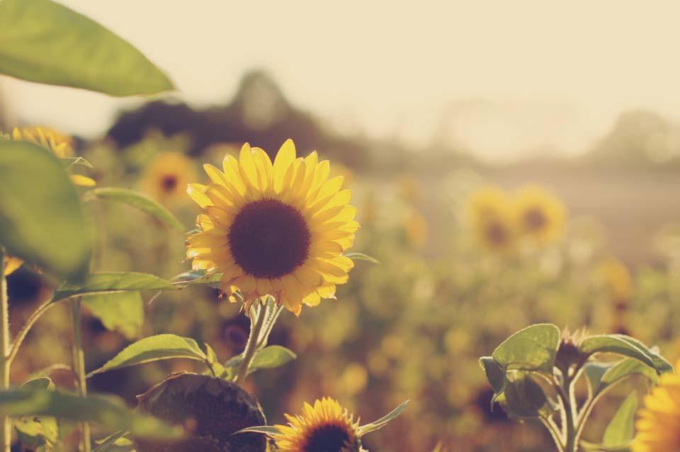 Im Sonnenblumenmeer Motiv 1060