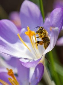 Honigbiene Motiv 1268 |  | Matthias Enning